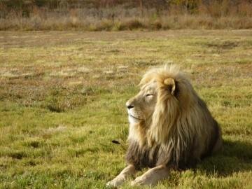 lion-compressed-360x270